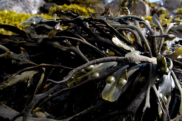 seaweed-991706_640_mini